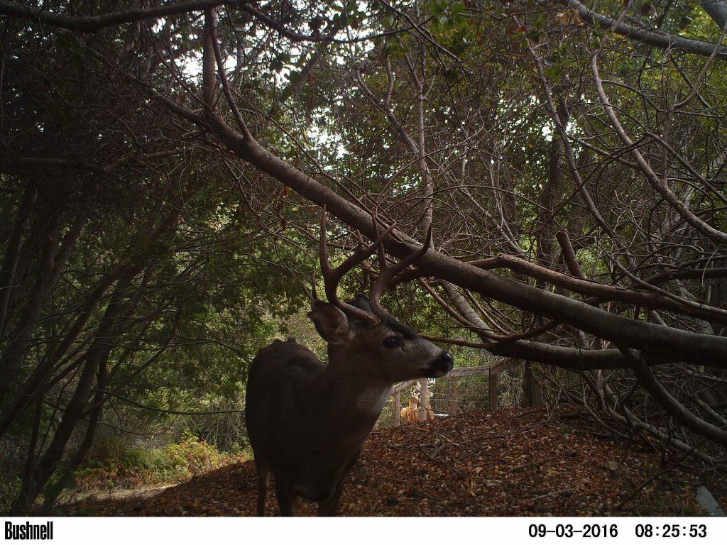 3x2 blacktail