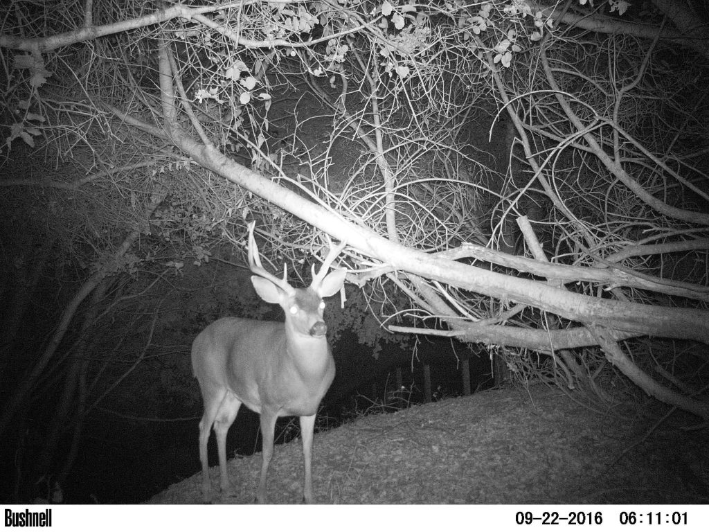 Big non-typical blacktail buck