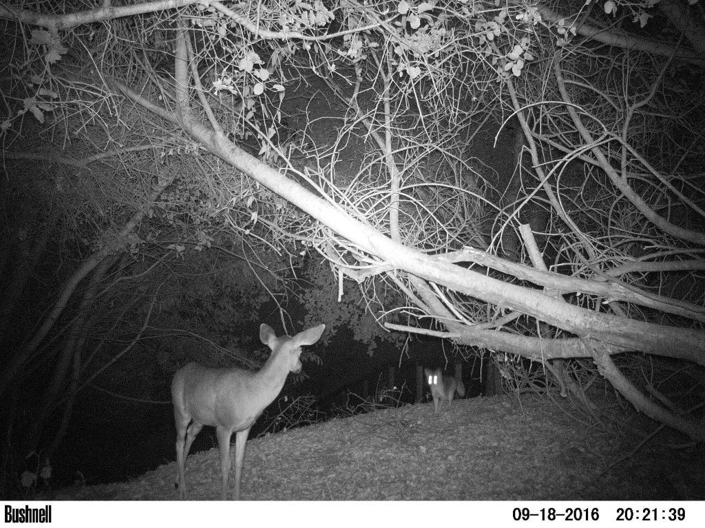 Doe & Coyote stare down