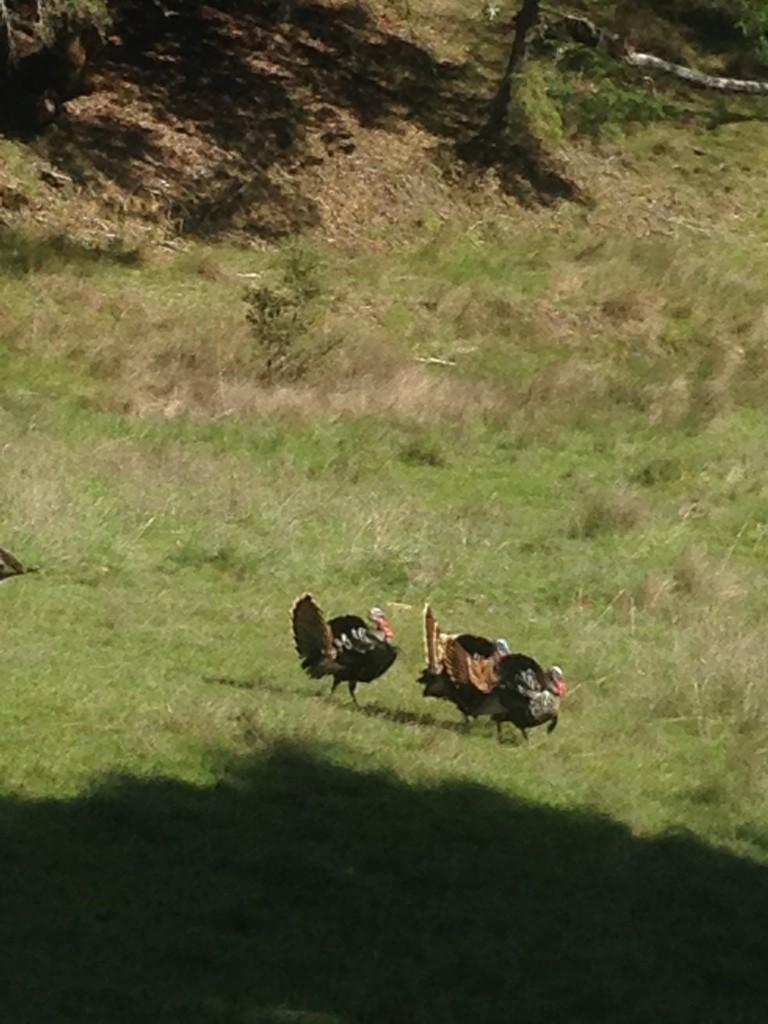 turkeys2014