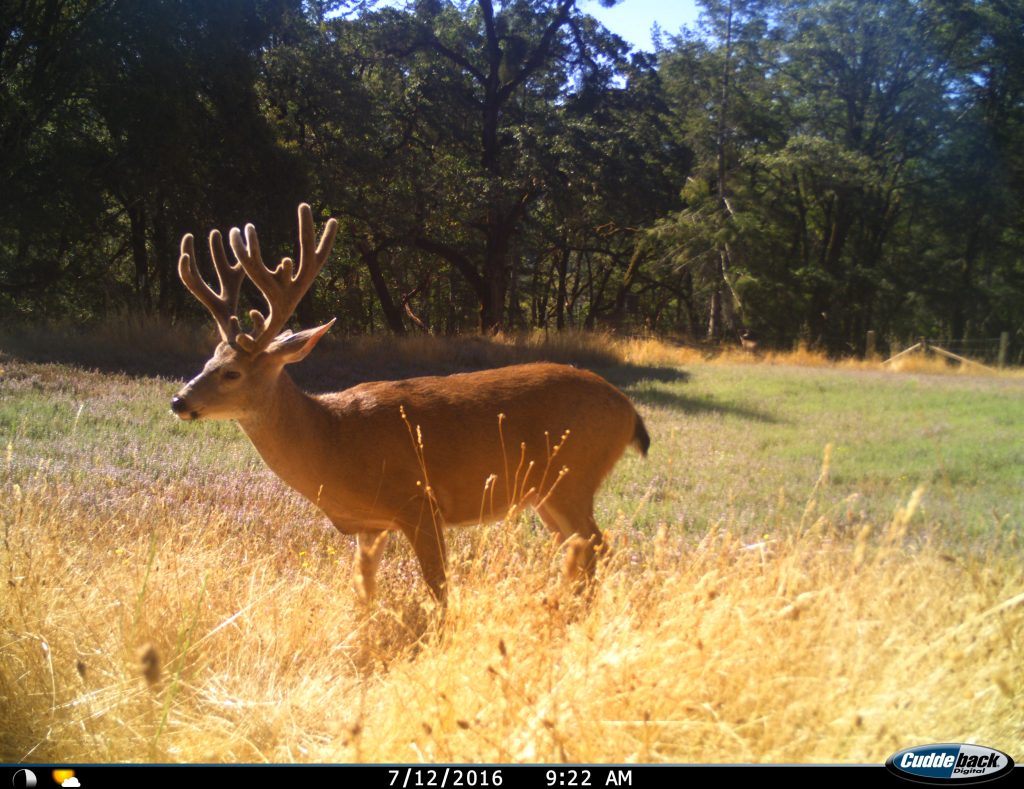 Large non-typical Blacktail buck