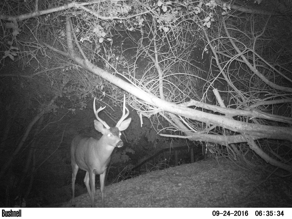 3x2 Blacktail Buck